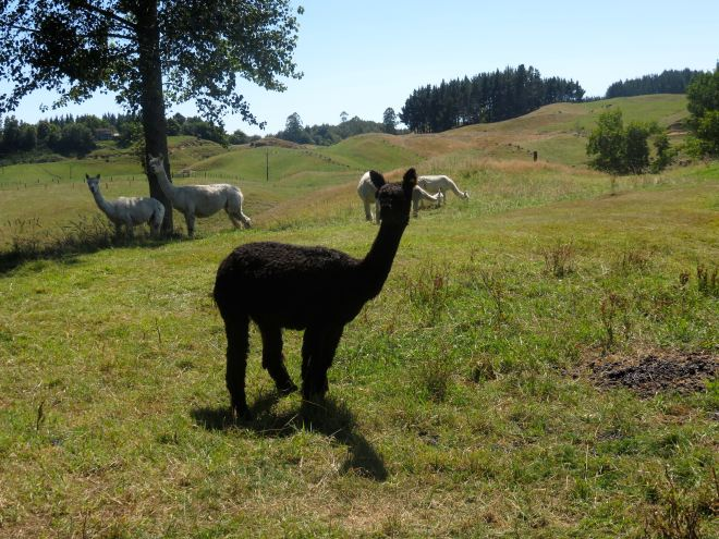 alpaca, surico farm, suri, new zeaand, rotorua, vacation, holiday