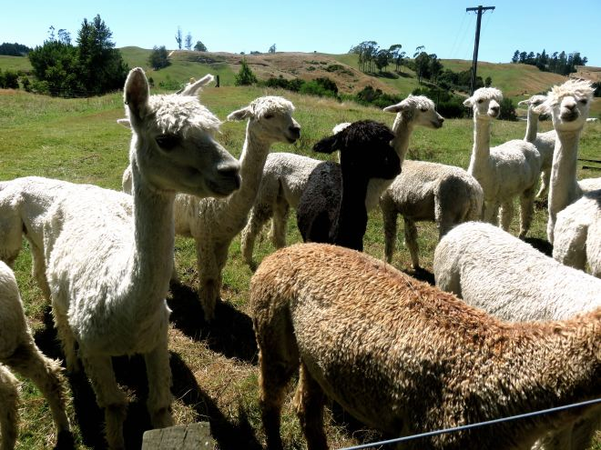 alpaca, surico farm, suri, new zealand, rotorua, vacation, roadtrip