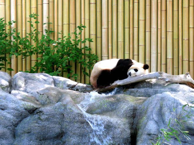 panda, toronto zoo
